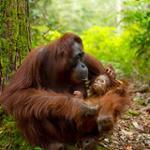 orang outan Sumatra