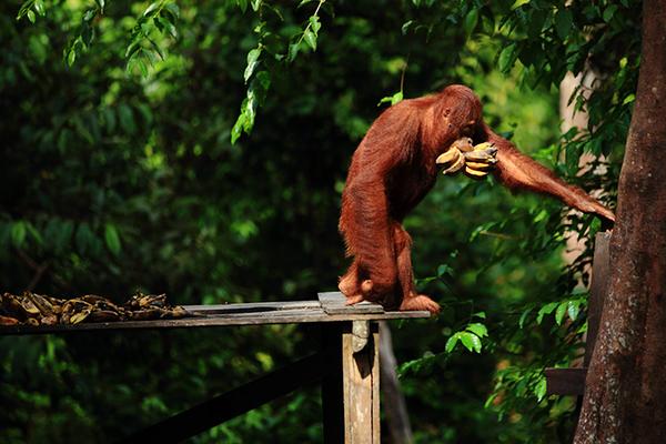 Orang-outan du parc national Tanjung Puting © Dominique Clarisse