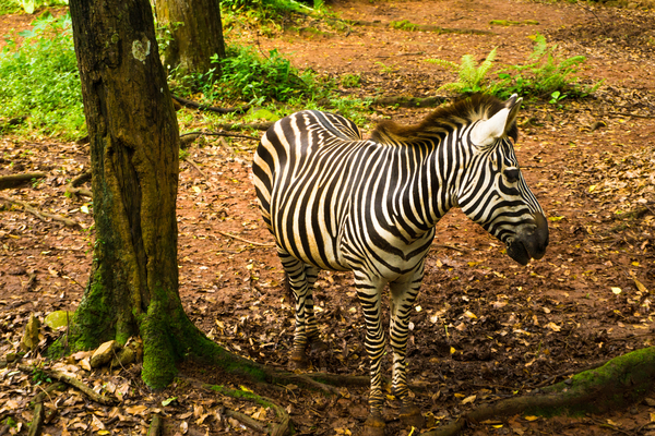 Zèbre au zoo de Ragunan, photo © Teguh Jati Prasetyo via Shutterstock